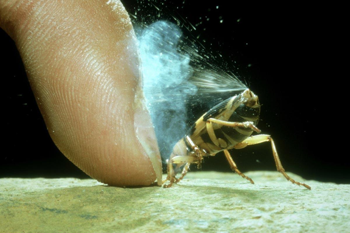 Großaufnahme eines Fingers, der einen Bombardierkäfer festhält. Der Käfer versprüht eine Mischung aus Dampf und Giftstoffen gegen den Finger