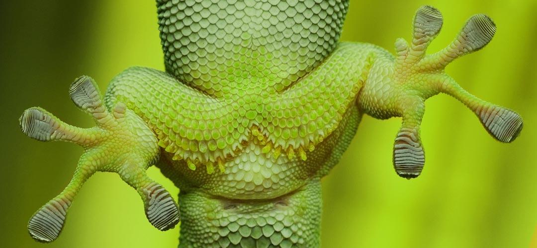 Die Füße eines Gecko von unten durch eine Glasscheibe betrachtet
