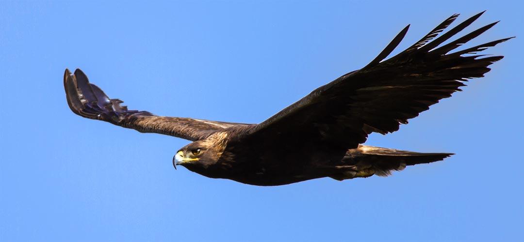 Ein Steinadler mit weit ausgebreiteten Flügeln vor einem blauen Himmel. Gut zu sehen, die aufgestellten Handschwingen an den Flügelenden